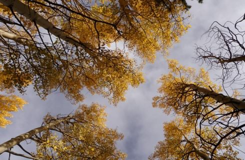 Looking up to the sky through the trees with yellow leaves